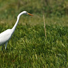 A Great Egret hunting for reptiles in an open field.