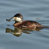 Ruddy Duck with a muddy face