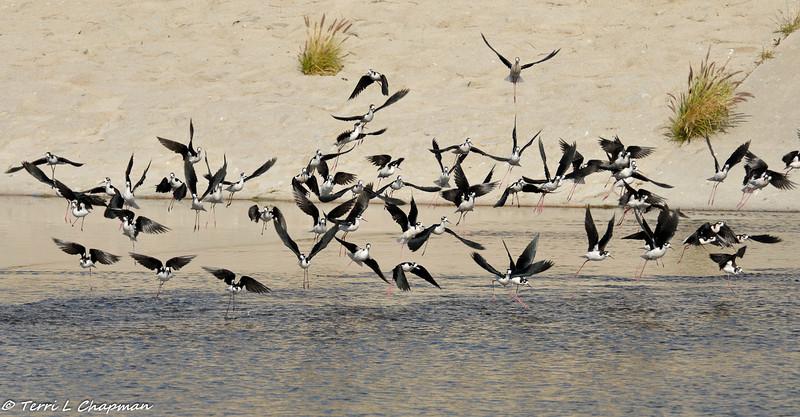 Black-necked Stilts taking flight