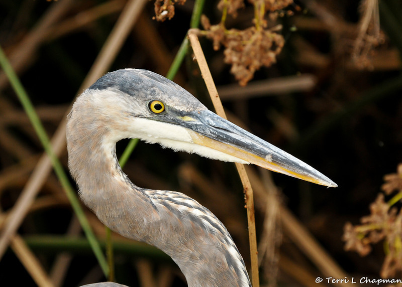 A young Great Blue Heron