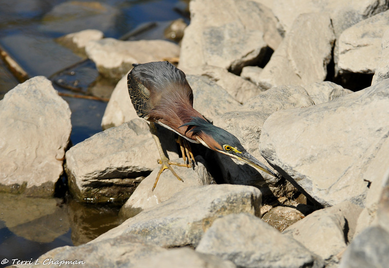 A Green Heron on the hunt