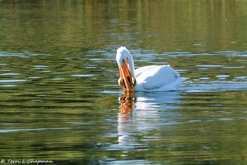 An American White Pelican catching a fish