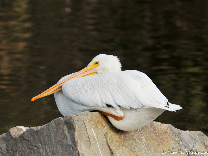 An American White Pelican resting on a rock in the LA River