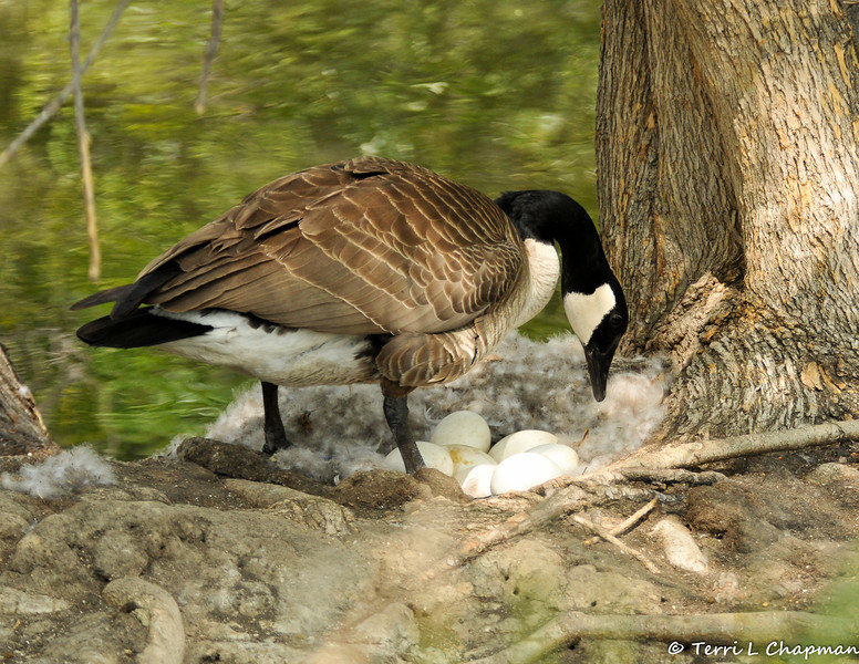 A female Canada Goose repositioning her eggs. Out of all the eggs, only two goslings were born.