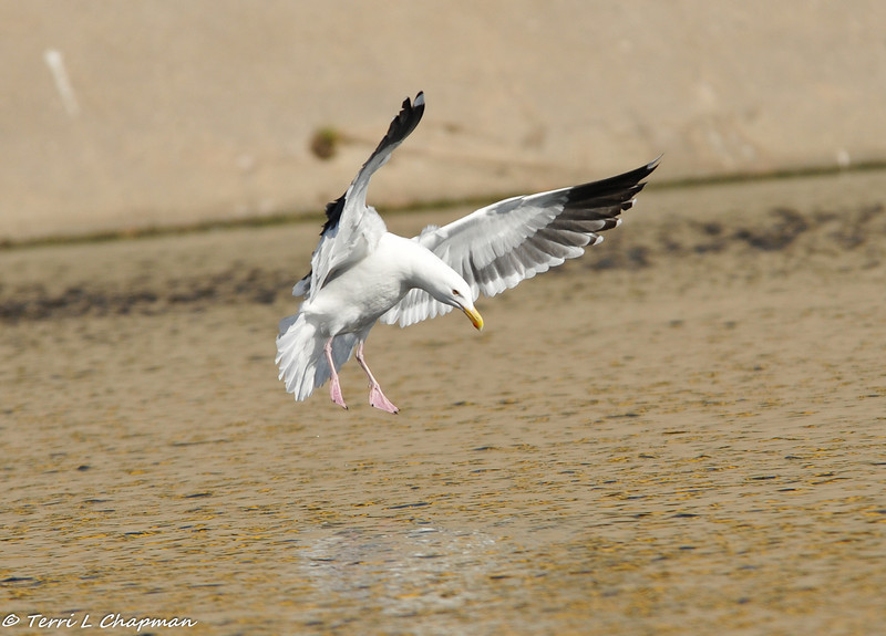 Western Gull coming in for a landing