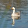 Canada Goose hybrid?