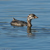 Pied-billed Grebe youngster