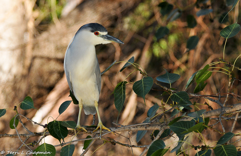 Black-crowned Night Heron hunting over a lake with the water reflecting on his feathers
