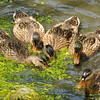 Juvenile Mallard Duckings searching for food