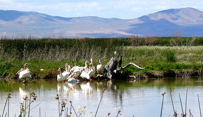 American white pelicans with cormorant on a marsh in northern Utah.