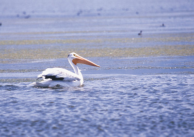 American white pelican on the water