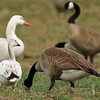 A Snow Goose grazing in an open field with a flock of Canada Geese and one hybrid Goose (white goose in the background)