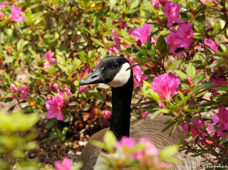 A father Canada Goose resting in the Azaleas as he watches his three goslings that are resting nearby.