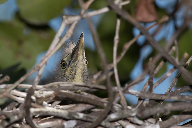 Striated Heron (Butorides striata) chick