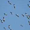 A flock of American White Pelicans