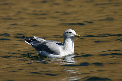 California gull sitting on the water.  Photo by Scott Root, Utah Division of Wildlife Resources.