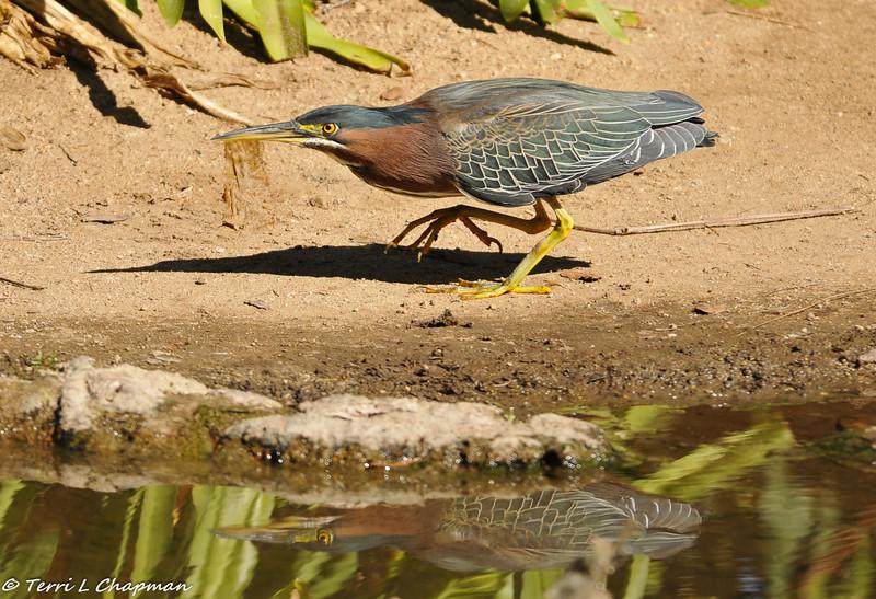 Green Heron on the hunt