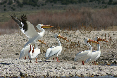 Five American white pelicans on the shore.  One is in the air.  Photo by Scott Root, Utah Division of Wildlife Resources.