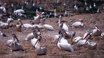 Nesting American white pelicans probably on Gunnison Island of the Great Salt Lake
