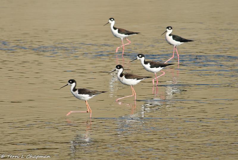 Black-necked Stilts in formation