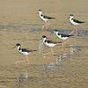 Black-necked Stilts in formation