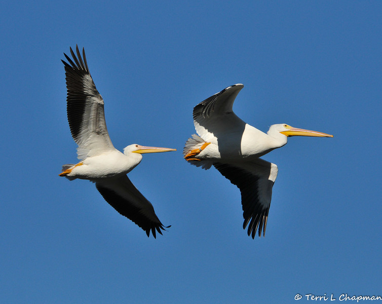 """American White Pelicans in flight. The pelican in the front is a banded bird, #5C9, that I photographed Christmas morning 2012 in the LA River. I reported my """"tagged bird"""" sighting to the United States Geological Survey (USGS) and the USGS let me know that my pelican was banded on 7/14/11 in the Minidoka National Wildlife Refuge in Idaho, which is a designated Bird Area of Global Importance.  #5C9 was a fledgling when it was banded by Colleen Moulton, Avian Ecologist at Idaho Department of Fish and Game, in an effort to learn where pelicans """"roam"""" for the two to three years before their breeding and to gather important information about individual foraging and movement.<br /> <br /> In the three years I have been photographing birds, this is the first tagged bird I have photographed and on a special day to boot! It is vital for research that if you ever see a banded or tagged bird, to report your sighting to the USGS, which can be done easily on-line. Over 60 million birds have been banded since 1904 yet only 4 million have been reported. So, all that to say, #5C9 is one of the best xmas gifts ever and I am happy to see how well this bird is doing!"""