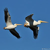 "American White Pelicans in flight. The pelican in the front is a banded bird, #5C9, that I photographed Christmas morning 2012 in the LA River. I reported my ""tagged bird"" sighting to the United States Geological Survey (USGS) and the USGS let me know that my pelican was banded on 7/14/11 in the Minidoka National Wildlife Refuge in Idaho, which is a designated Bird Area of Global Importance.  #5C9 was a fledgling when it was banded by Colleen Moulton, Avian Ecologist at Idaho Department of Fish and Game, in an effort to learn where pelicans ""roam"" for the two to three years before their breeding and to gather important information about individual foraging and movement.<br /> <br /> In the three years I have been photographing birds, this is the first tagged bird I have photographed and on a special day to boot! It is vital for research that if you ever see a banded or tagged bird, to report your sighting to the USGS, which can be done easily on-line. Over 60 million birds have been banded since 1904 yet only 4 million have been reported. So, all that to say, #5C9 is one of the best xmas gifts ever and I am happy to see how well this bird is doing!"