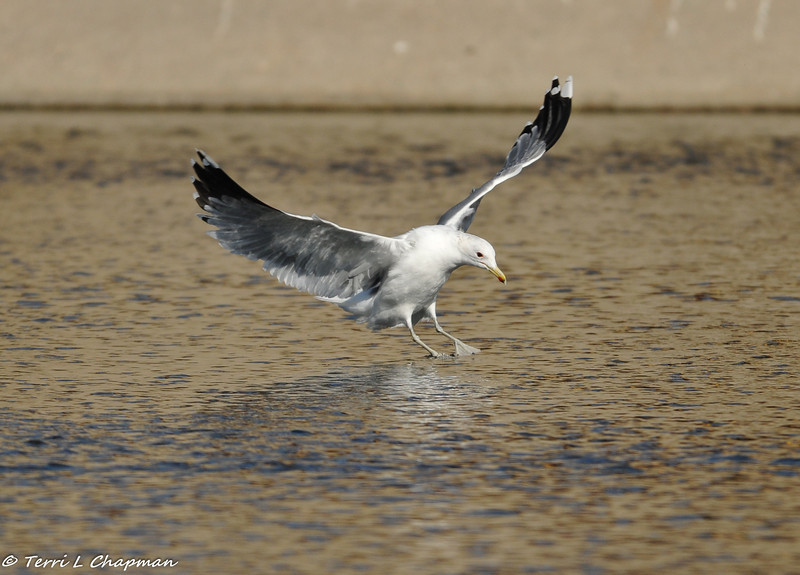 California Gull coming in for a landing