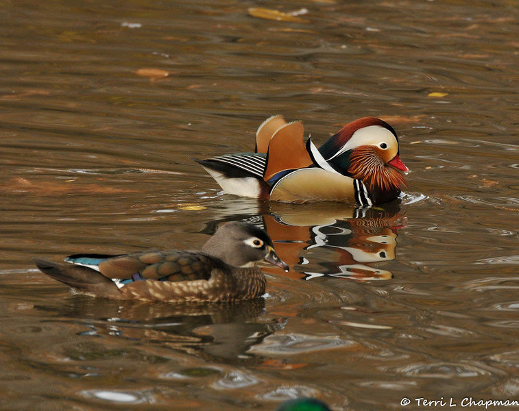 A female Wood Duck and a male Mandarin Duck (background)