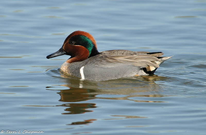 A Green-winged Teal (male)