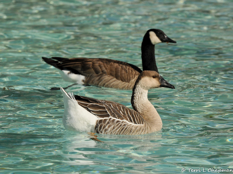 A  Swan Goose and Canada Goose