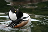 Hooded merganser territorial display