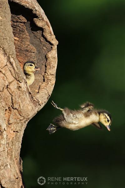 Leap of faith - Wood ducklings