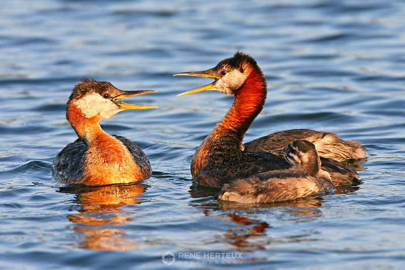 Red necked grebe with baby