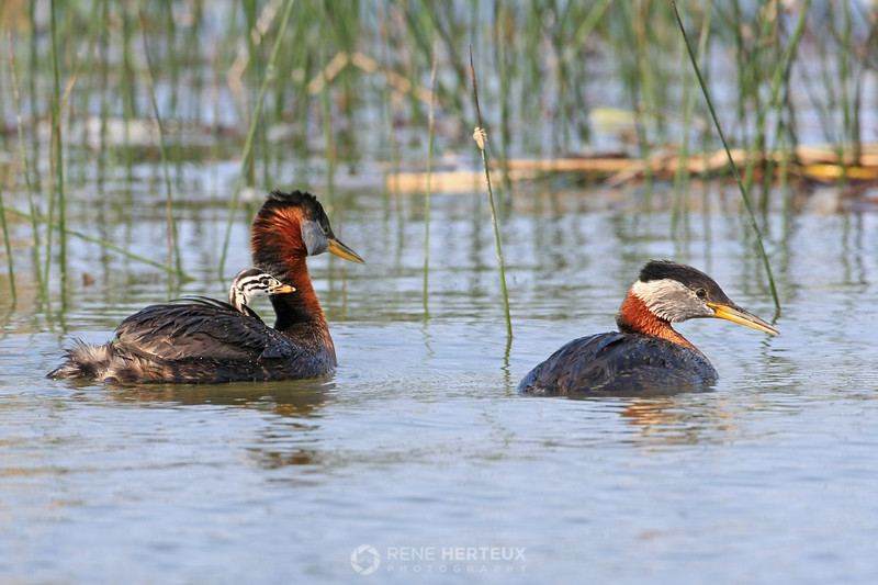 Grebes with baby riding