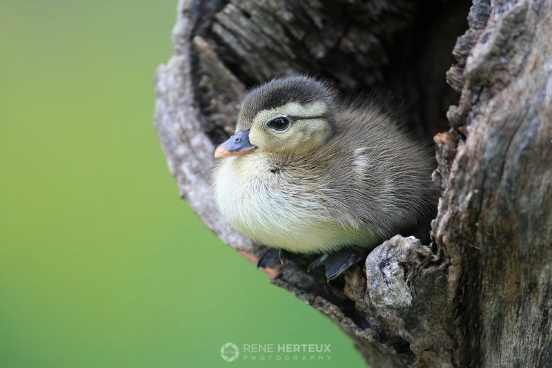Wood duckling