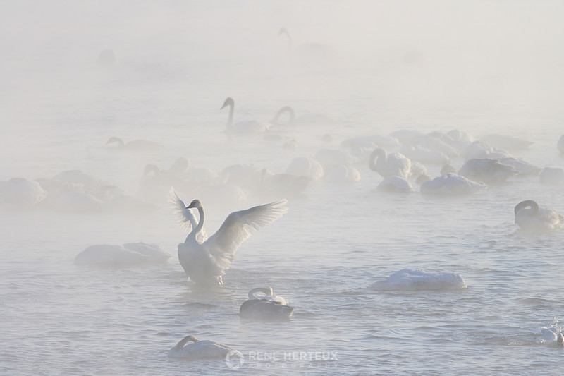 Trumpeter swans in the steam, Monticello MN