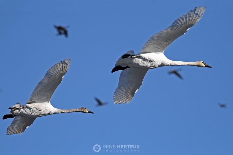 Trumpeter swans in flight