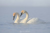 Swans in the steam