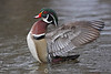 Wood duck spread