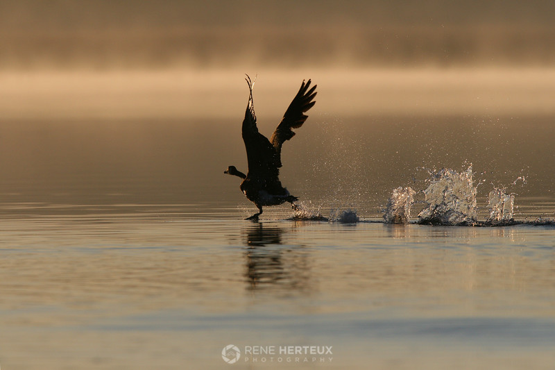 Goose taking off into sunrise