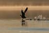 Goose taking off into sunrise