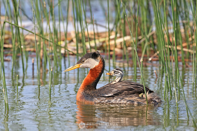 Red necked grebe rider in reeds