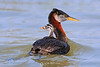 Red necked grebe with baby riding