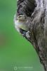 Wood duckling