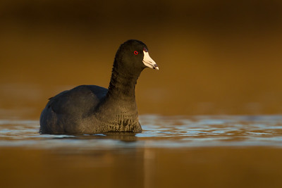 Coots, Gallinules (Rallidae)