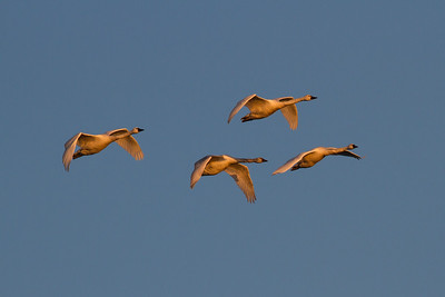 Swans (Anatidae)