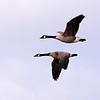Giant Canada Geese, 74 Field, Camden Bottom