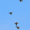 Mallards cupping with landing gear down