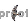 Marsh Hawk looking for prey, 74 Field, Camden Bottom